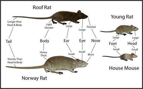 Rodents ? ExCimex