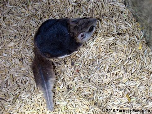 Flying Squirrel in the Feed Bin