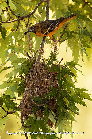 Female Baltimore Oriole with mulberry in its mouth, about to feed its young in the nest below, at the John Heinz National Wildlife Refuge