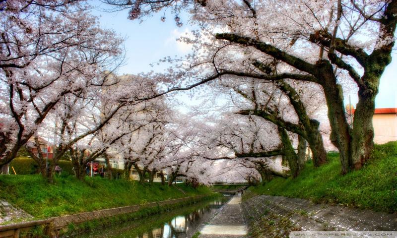 Under Sakura Trees 4k Hd Desktop Wallpaper For 4k Ultra Hd Tv