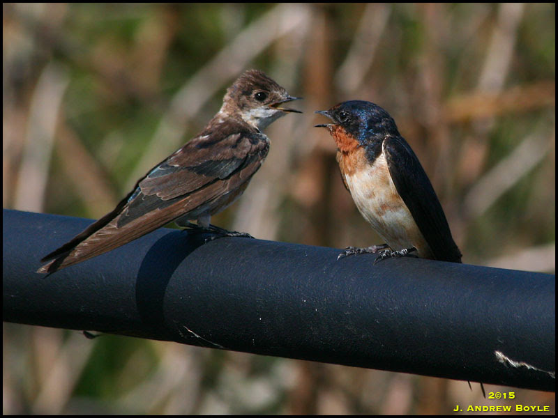 Barn Swallow and Hybrid