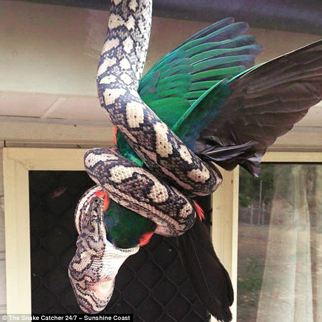 The carpet python making a meal of a king parrot, which appears to be quite large as it disappears into the snake's mouth