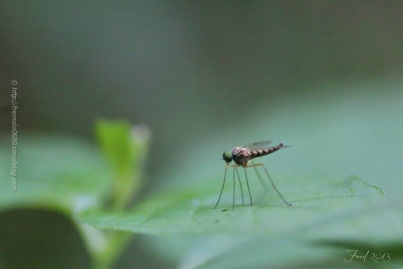 Chrysophilus asiliformis ♂