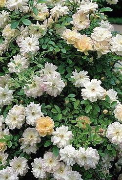 Rosa 'Phyllis Bide'.jpg