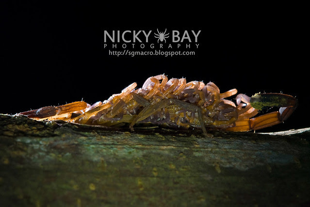 Scorpion (Lychas scutilus) - DSC_9011