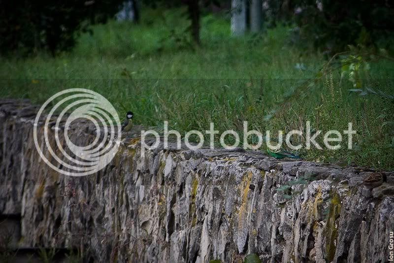 Melopsittacus undulatus,Ion Grosu,Chi�in�u,moldovabirds.blogspot.com