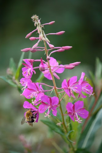 Fireweed with Bumblebee