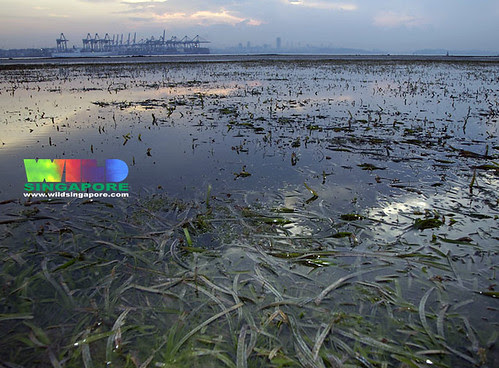 Vast seagrass meadows overlooking container terminals
