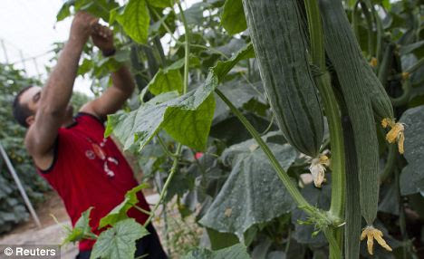 A worker harvests cucumber in a greenhouse in El Almeria - one of the Spanish regions suspected by German officials
