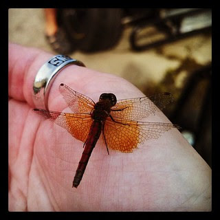 Just hanging out with this beautiful #dragonfly at the track last night...