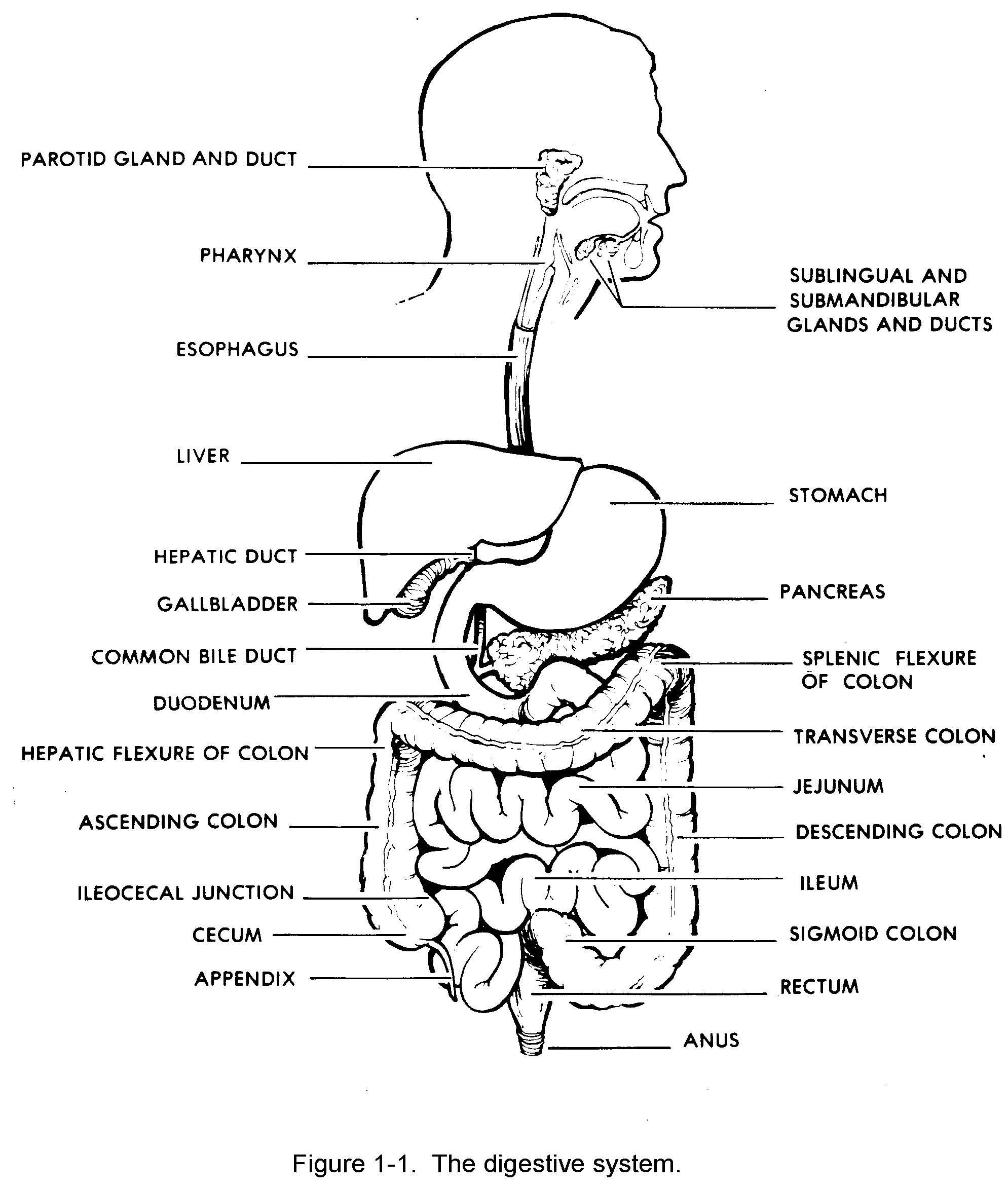 Images 06. Digestive System   Basic Human Anatomy