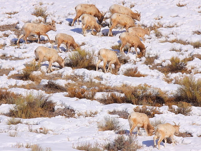 IMG_9009 Herd of Bighorn Sheep