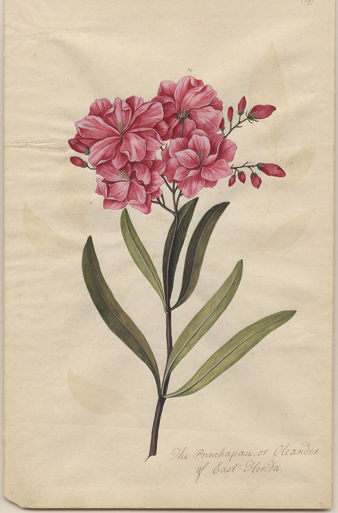 Punchapau of East Florida or Oleander