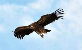 Vulture in Hindi गिद्ध