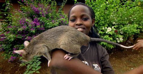 Giant Rats Can Detect Tuberculosis!   Extraordinary Ani    Doovi