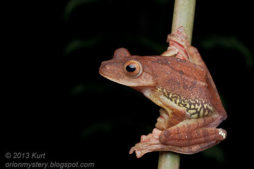 Harlequin Tree Frog (Rhacophorus pardalis) IMG_2678 copy