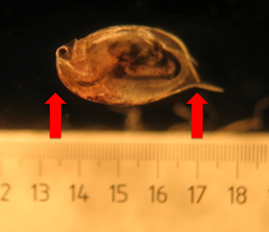 Size Matters Not Or How Tiny Water Fleas Make A Big Difference In