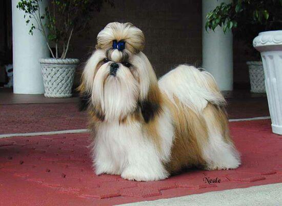 Best Dog Wallpapers: Shih Tzu Dog Pictures