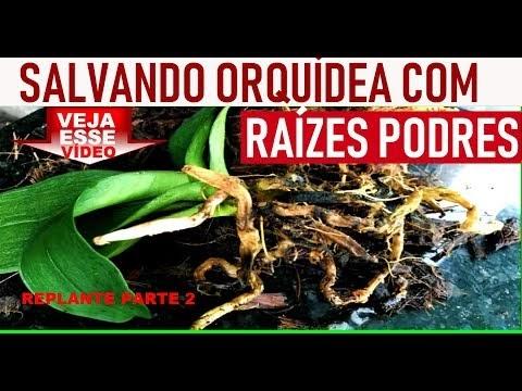 COMO RECUPERAR ORQUÍDEA DESIDRATADA COM RAIZ PODRE OU SEM RAÍZES /SALVAR REPLANTAR ENVASAR ⧣ 2