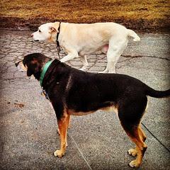 My boys! #dogstagram #spring #coonhoundmix #mutt #labmix #love #adoptdontshop #rescue