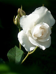 rose, 25 juin 2005