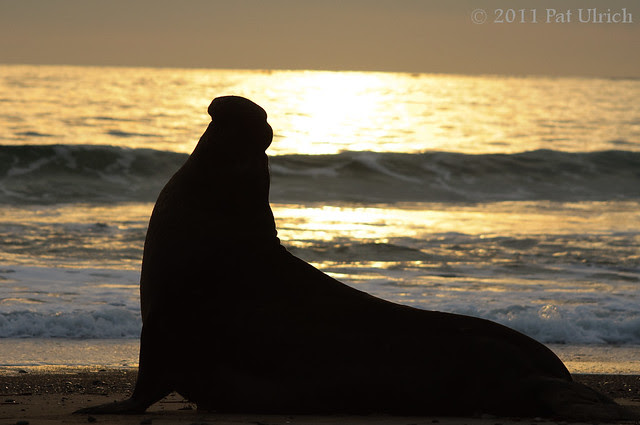Elephant seal silhouette -- Pat Ulrich Wildlife Photography