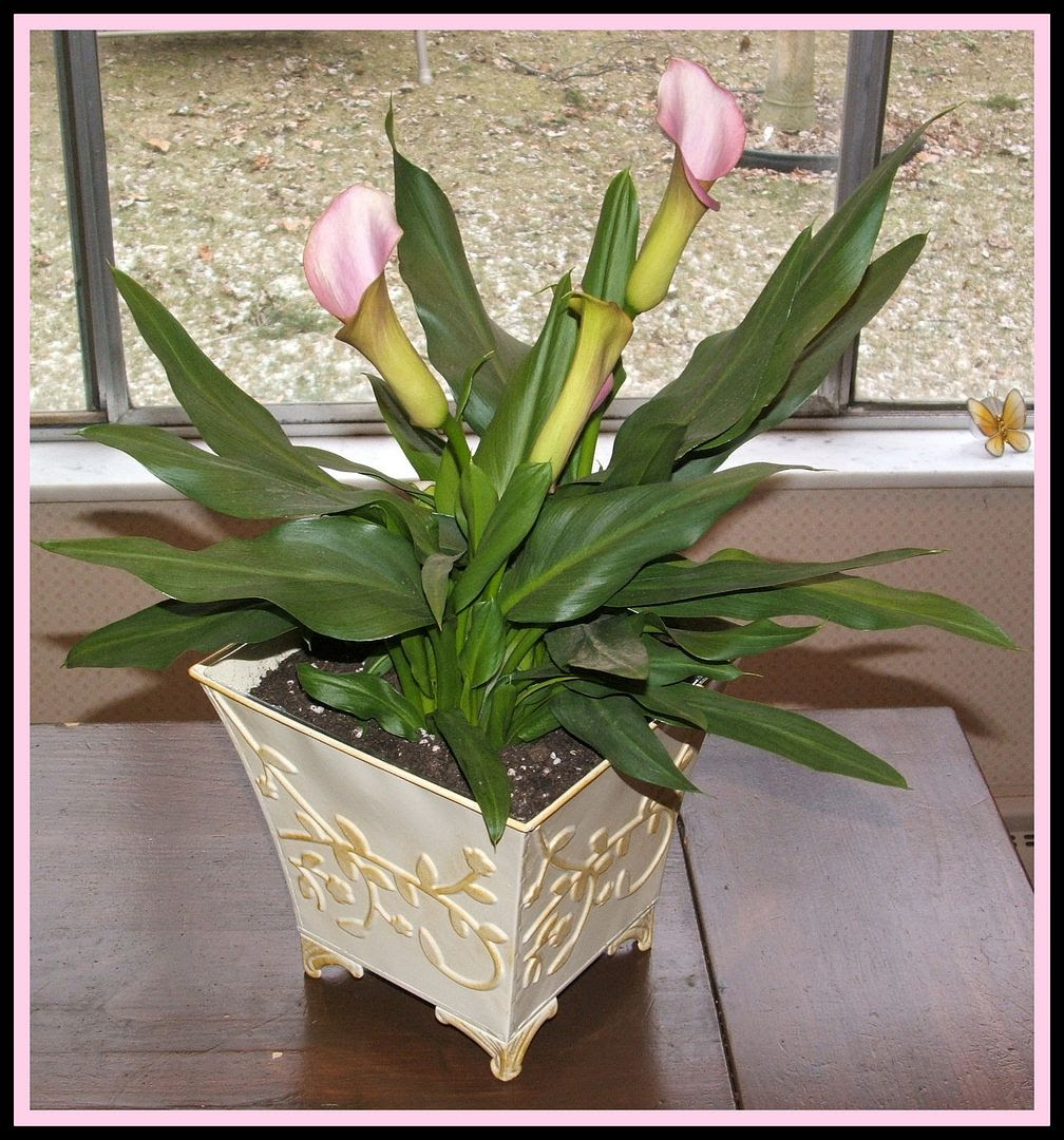 Calla Lily Birthday by Angie Ouellette-Tower for godsgrowinggarden.com photo 013_zps7bcee727.jpg