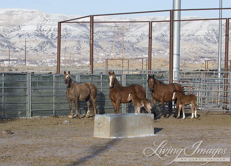Gwendolyn with the other mares and foals