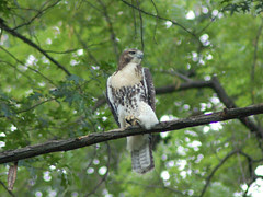 Red-Tailed Hawk in Morningside Park