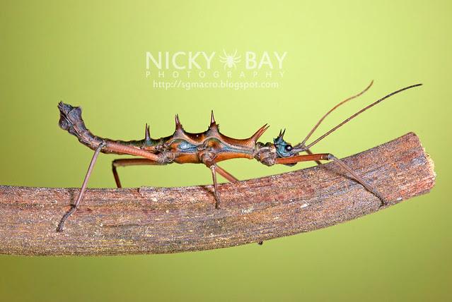 Stick Insect (Phasmatodea) - DSC_2143