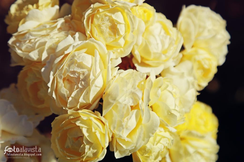 Racimo de rosas luminosas. Fotografía creativa - Fotografía decorativa