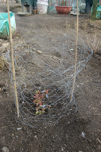 planting soft fruit Apr 13 2
