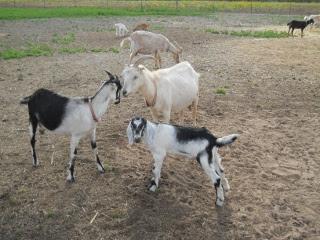 New 2012 Goat Buck Obie