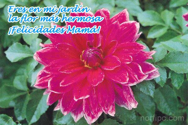 Eres en mi jardín la flor más hermosa. ¡Felicidades Mamá!