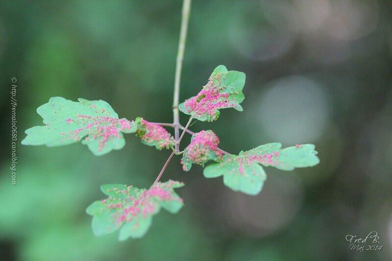Acer campestre parasité par Aculodes cephaloneus anciennement Eriophyes macrorhynchus