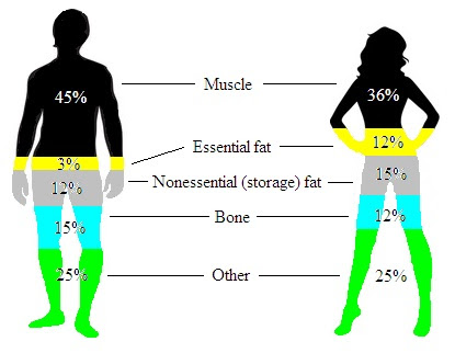 what is average body fat percentage