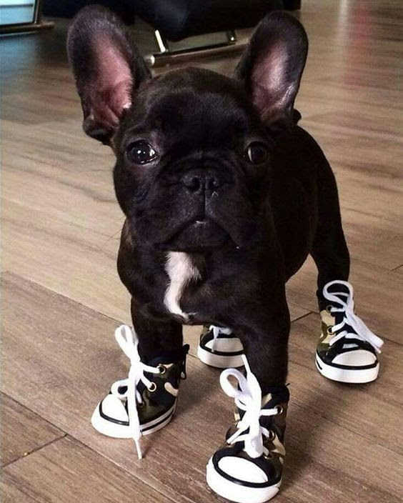 20 French Bulldog Puppies You Will Love Fallinpets