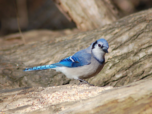 Blue Jay in Central Park Ravine