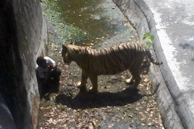 Imagem mostra tigre se aproximando de jovem que entrou em seu recinto no zoológico de Nova Déli nesta terça-feira (23) (Foto: Polícia de Nova Déli/AFP)