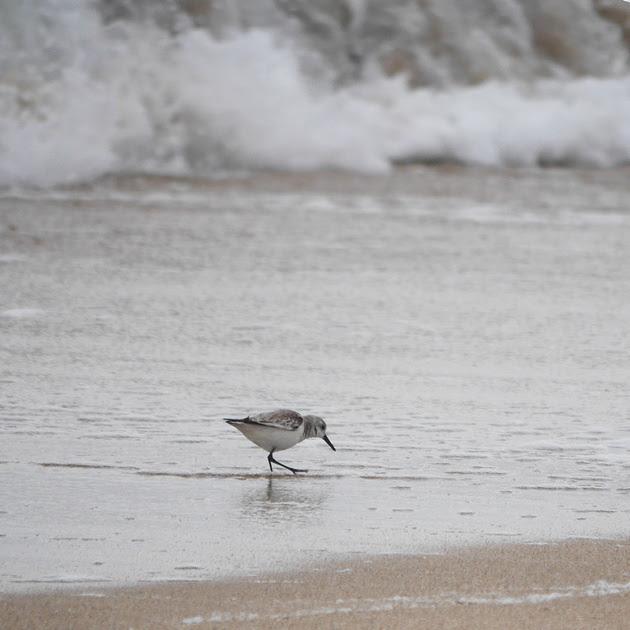 Ed Gaillard: birds &emdash; Sanderling, Ft. Lauderdale