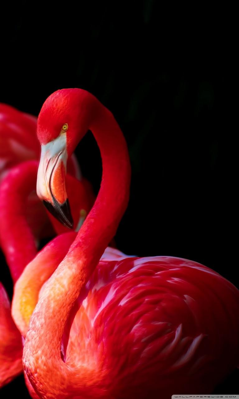 Beautiful Flamingos Ultra Hd Desktop Background Wallpaper For 4k Uhd Tv Widescreen Ultrawide Desktop Laptop Tablet Smartphone