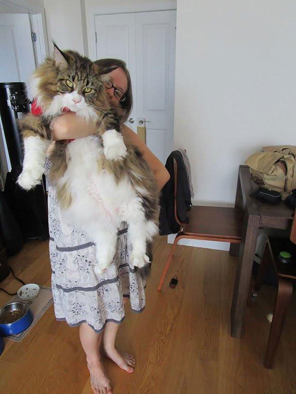 les chats les plus gros