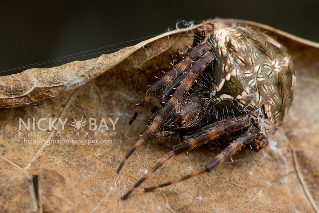 Orb Web Spider (Araneidae) - DSC_6747