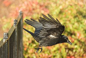 A Carrion Crow just after take-off from a fenc...