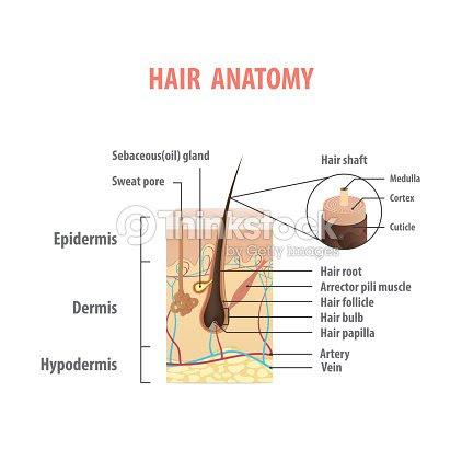 解剖学イラスト ベクトルを髪白い背景の上医療コンセプト ベクトルアート