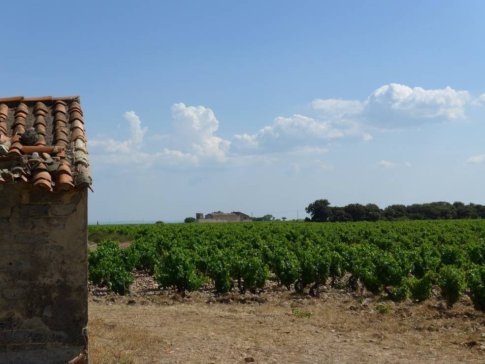 vinyards and a building with tile roof