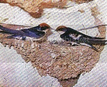 g12-5, WIRE-TAILED SWALLOW