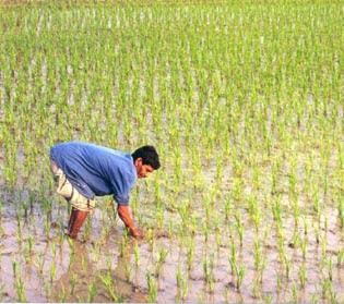 File:Rice Field.jpg