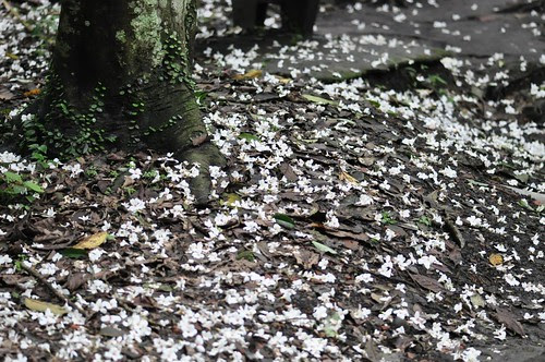 翠湖油桐花