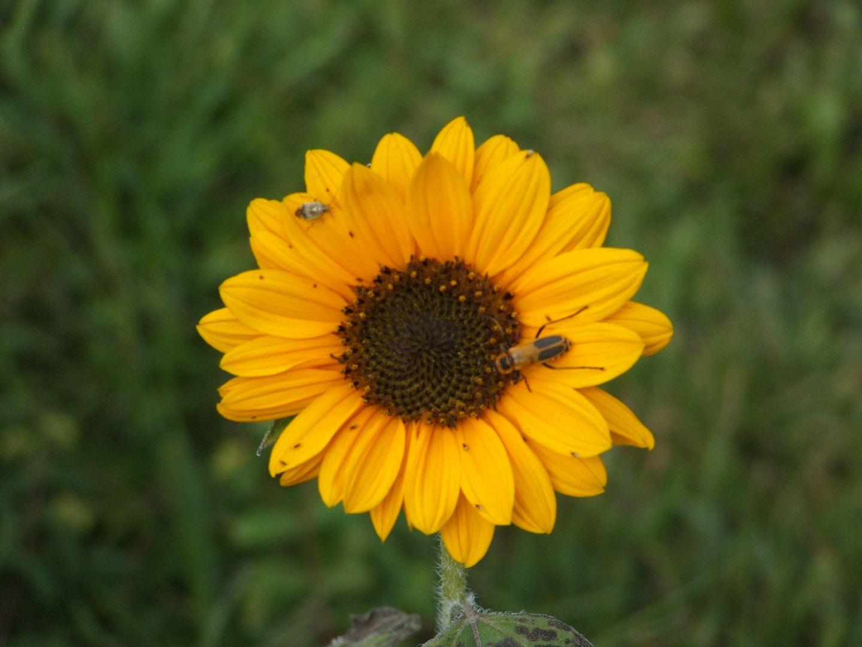 Soraya Sunflower by Angie Ouellette-Tower for godsgrowinggarden.com photo 008_zpsaa04da18.jpg